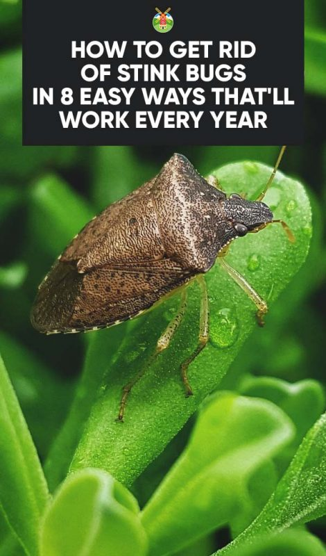 How To Get Rid Of Stink Bugs In 8 Easy