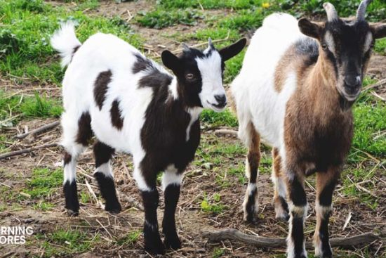 6 Things You Need to Understand About Versatile Miniature Goat Breeds