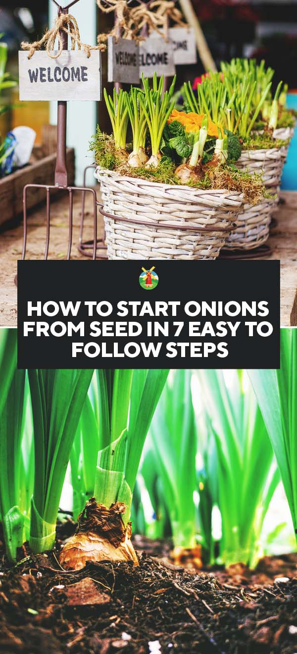 how to start onions from seed in 7 easy to follow steps pin