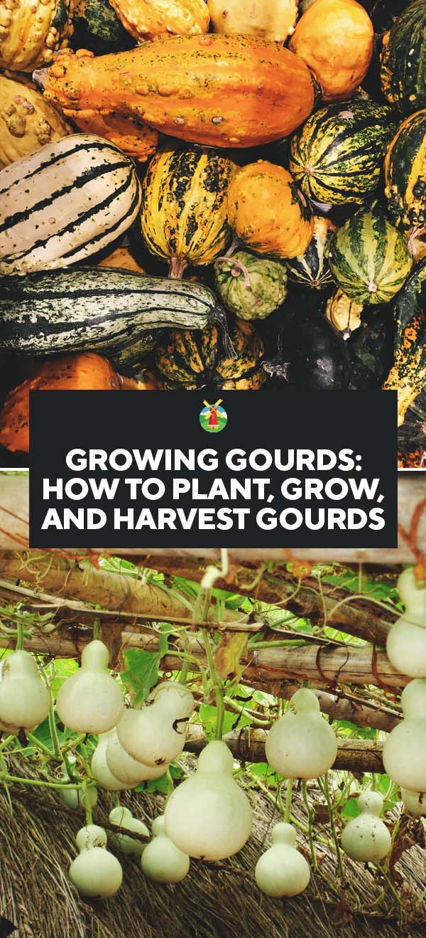Growing Gourds- How to Plant, Grow, and Harvest Gourds PIN