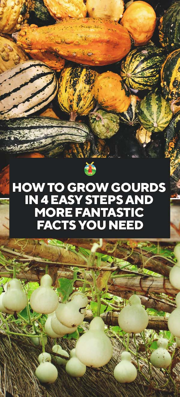 how to grow gourds in 4 easy steps and more fantastic