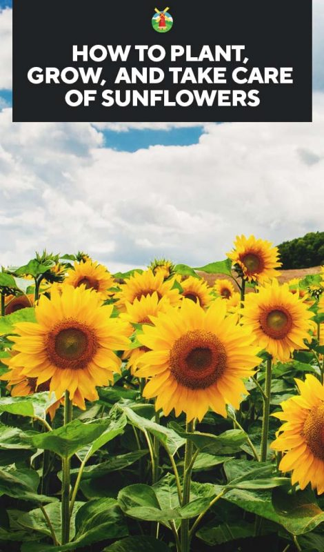 0b69e4884 Growing Sunflowers: How to Plant, Grow, and Take Care of Sunflowers