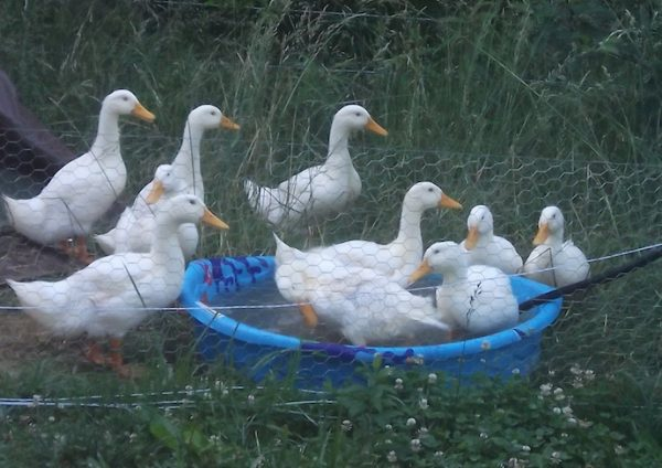 Ducks in Kiddie Pool