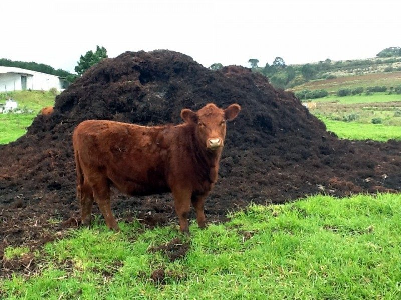 cow-manure