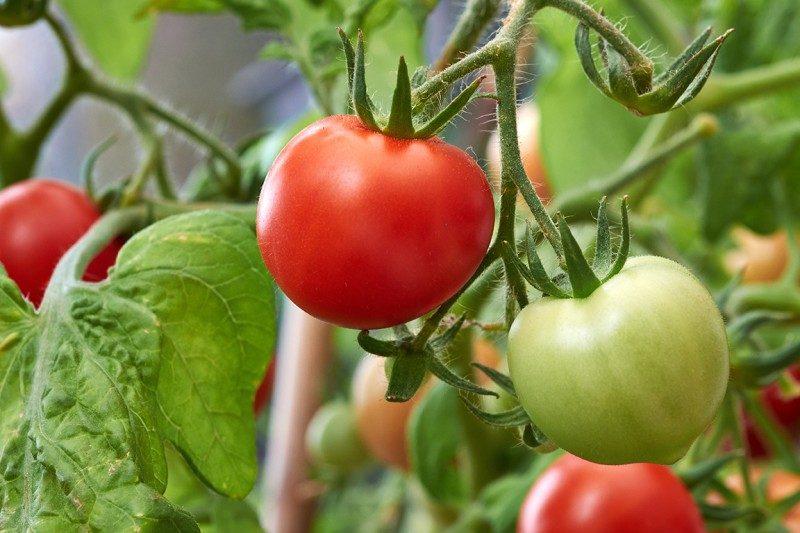 Tomato loves the sun