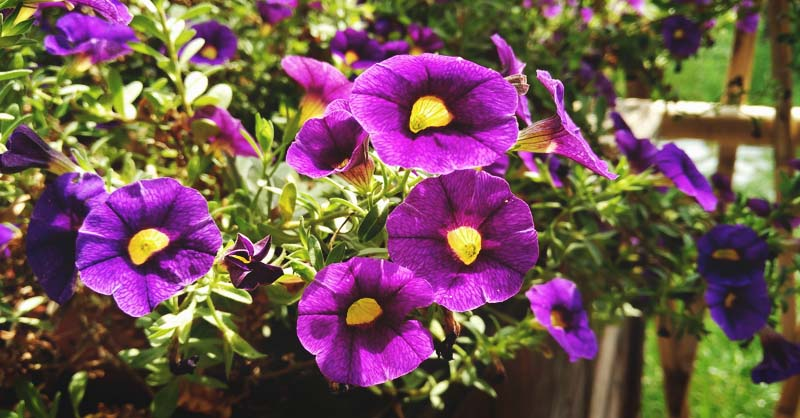 Growing Petunias A Complete Guide On How To Plant Grow And Care