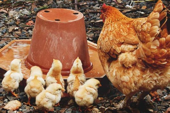 How to Start Raising Chickens for Meat with Low Budget & Maintenance