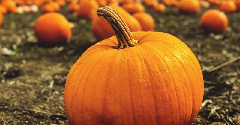 Growing Pumpkins Best Varieties