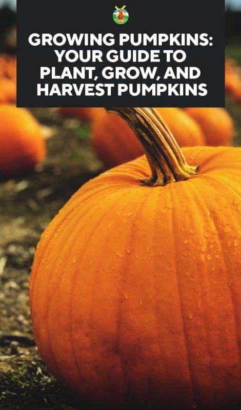 Growing Pumpkins Best Varieties Planting Troubleshooting And Harvesting