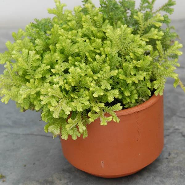 23 Gorgeous Terrarium Plants To Use In Your New Terrarium