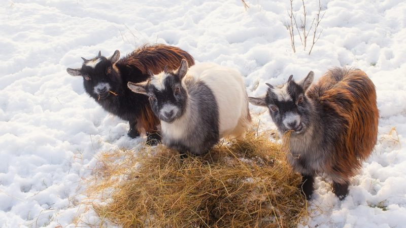 Hay and goats