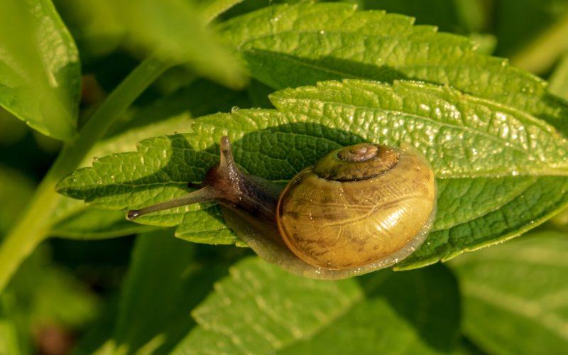 Single snail
