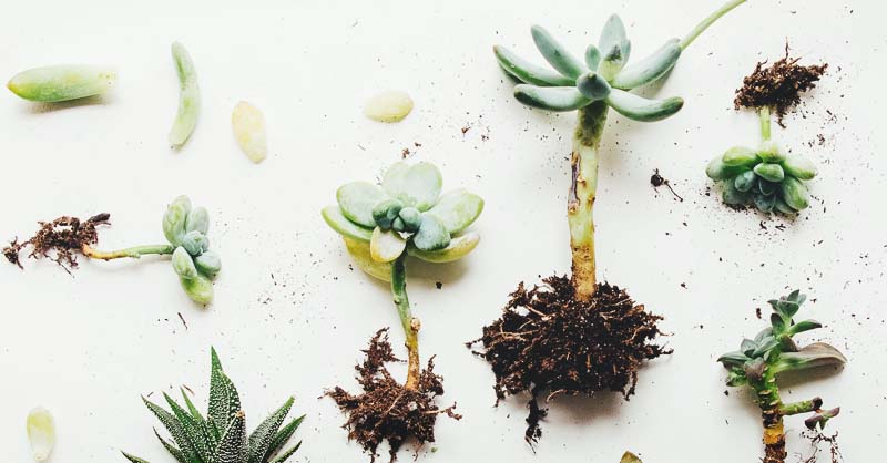 Propagating Succulents 2 Methods To Do It Easily And Correctly