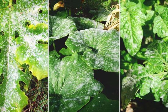 Powdery Mildew: Cause, Identification, Prevention, and Treatment