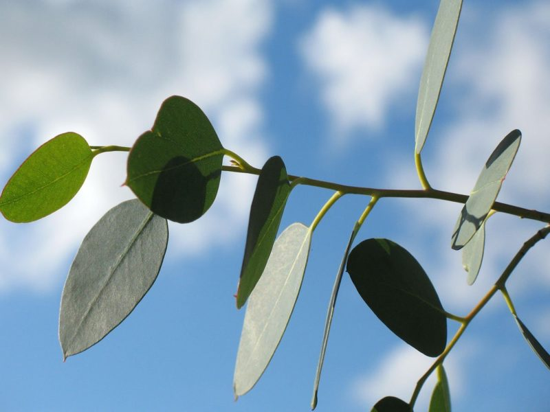 Eucalyptus leaves to get rid of flies