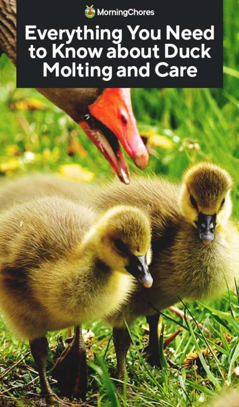 Everything You Need To Know About Duck Molting And Care