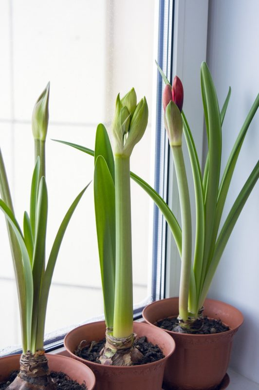 amaryllis-indoor-plants