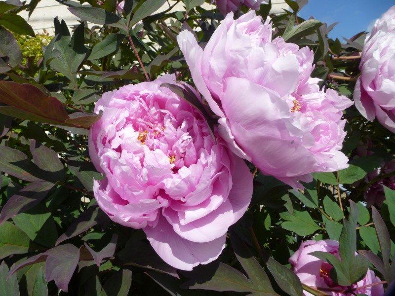 Peony flowers in bloom