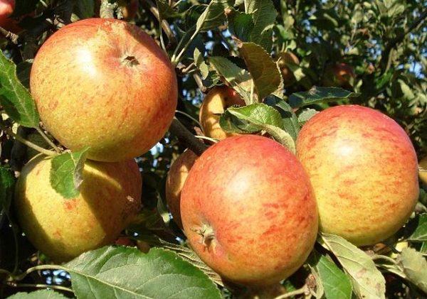 Cox Orange Pippin apple varieties on a tree
