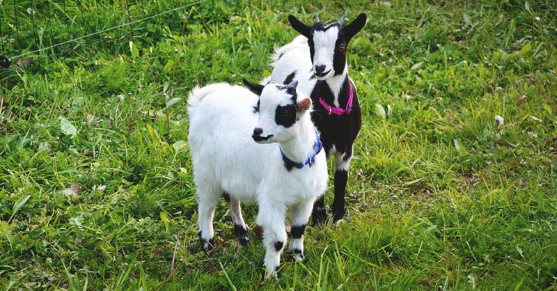 A Comprehensive Guide to Goat Breeding for Beginners