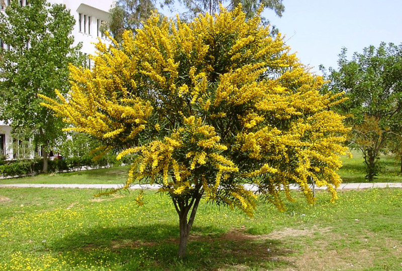 Acacia cyanophylla in bloom
