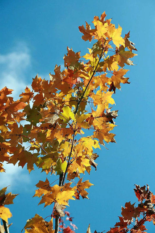 Freeman's Maple leaves against a blue sky