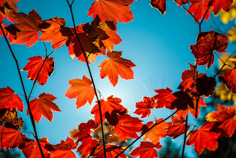 Red Maple leaves against a blue sky