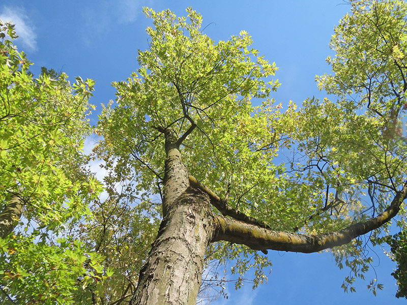 A Silver Maple tree against a blue sky