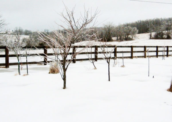 Northern Spy apple tree standing in a field in winter