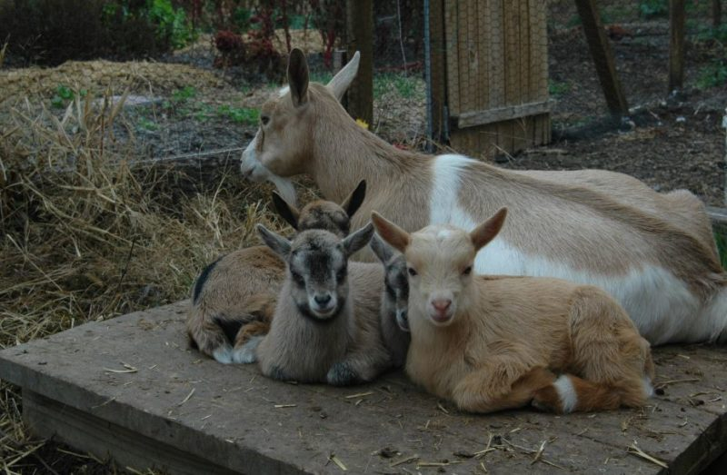 goat breeding