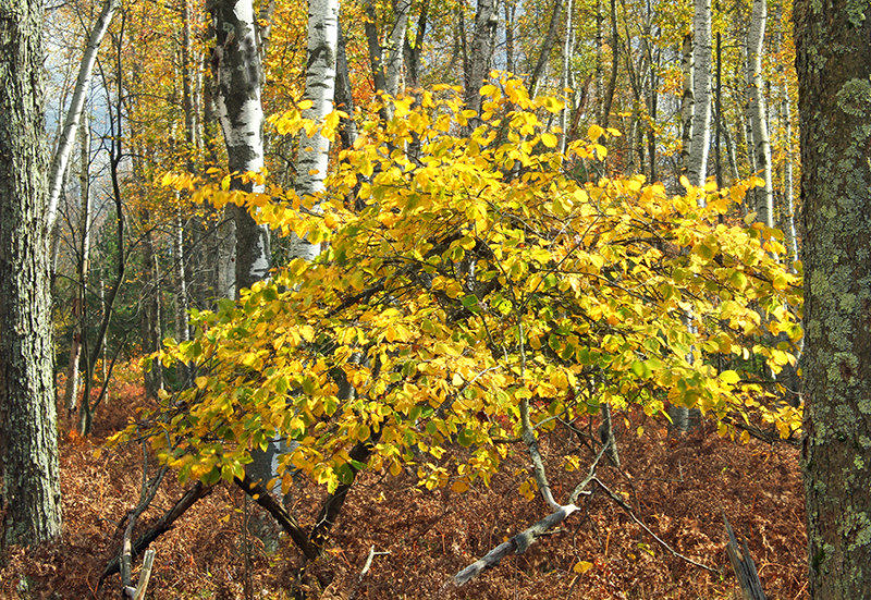 A small witch hazel plant between some trees in a forest
