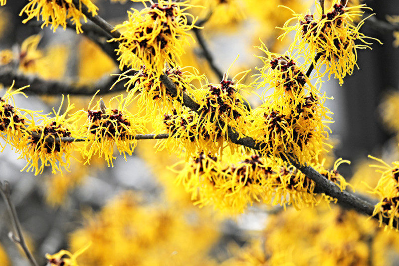 Bright yellow witch hazel blooms in winter