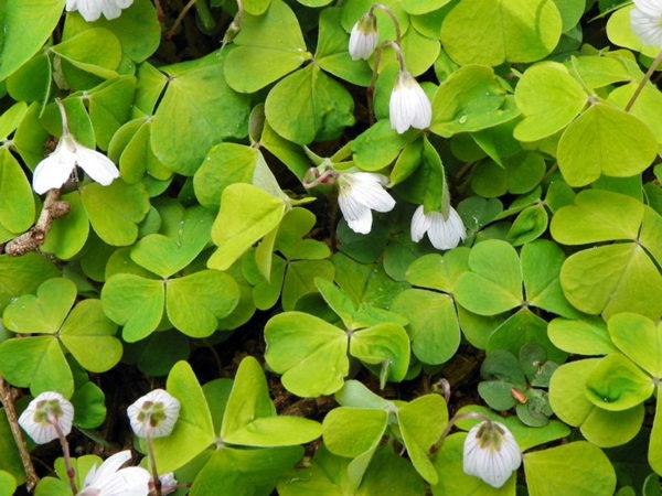 Wood sorrel edible flowers