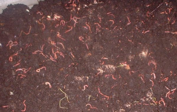 Red wigglers in a dirt material