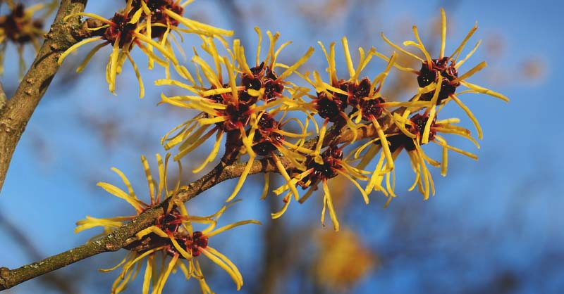 Everything You Need to Know About Witch Hazel and 8 Ways to