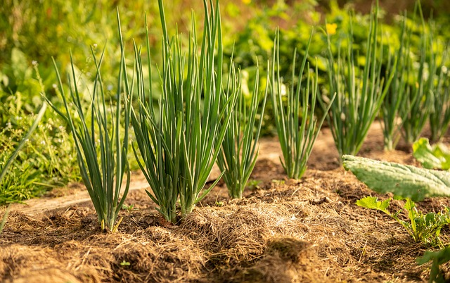 onions mulched with straw