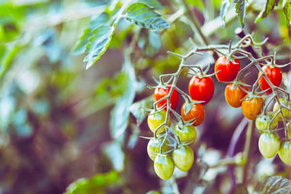 Ripening tomatoes on a vine