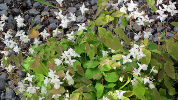 Barrenwort ground cover plant