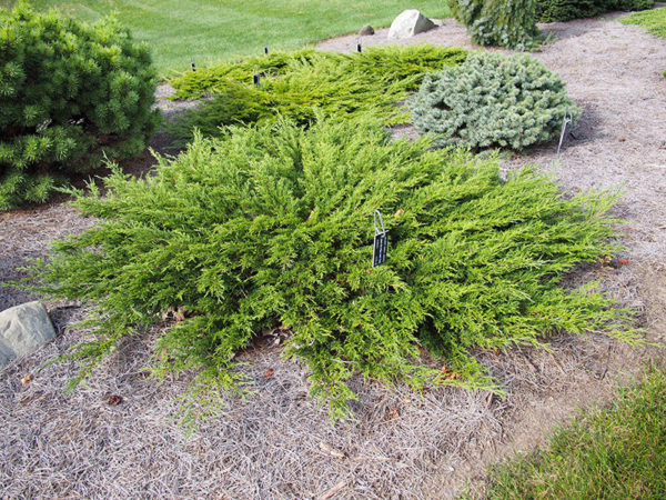 Ground cover Juniperus sabina 'Monna' Calgary Carpet Juniper