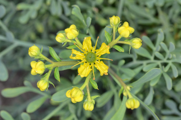 Common rue medicinal plant yellow blossoms