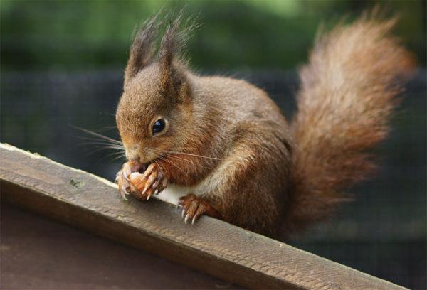 Squirrel eating a hazelnut