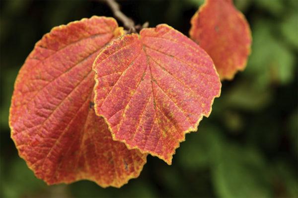 Red Hazelnut leaves in fall
