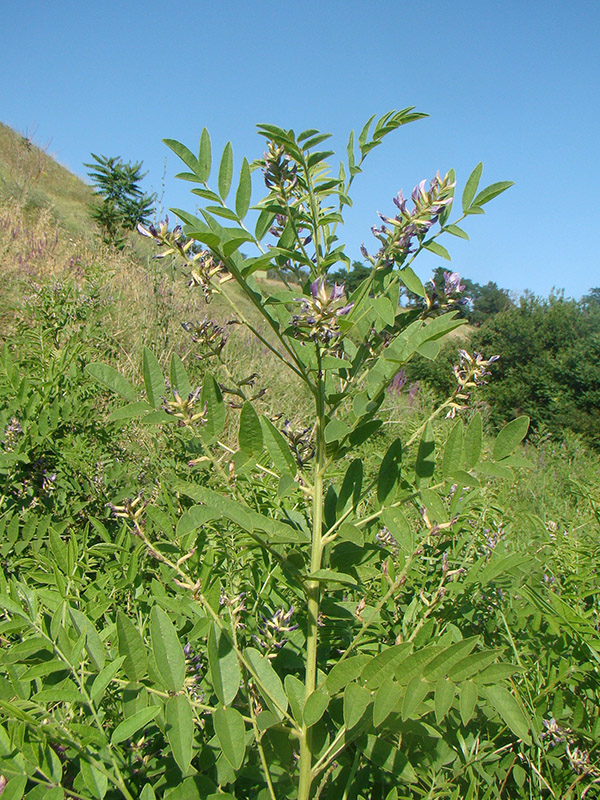 Licorice medicinal plant growing against a hill