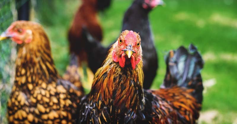 Do You Have What It Takes to Raise Chickens in Your Backyard?