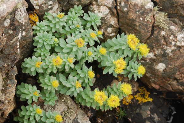Roseroot plant growing in some rocks