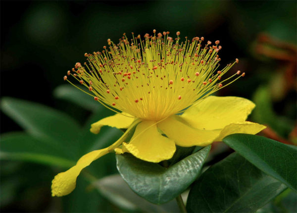 Close up of the medicinal herb St. John's Wort