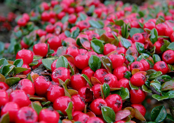Cotoneaster ground cover plant berries