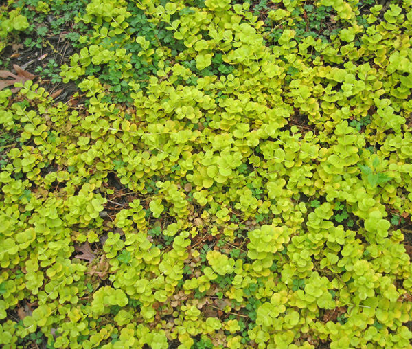 Golden creeping Jenny ground cover plant