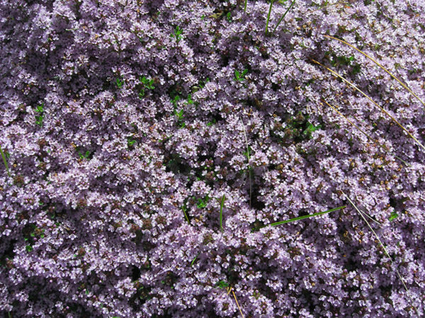 Creeping thyme ground cover plant