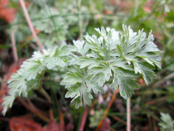 wormwood leaves